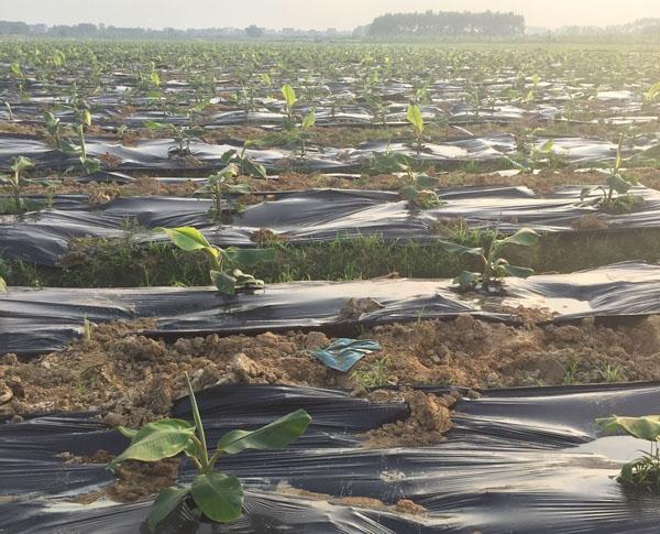 加厚黑色地膜香蕉专用11元/公斤